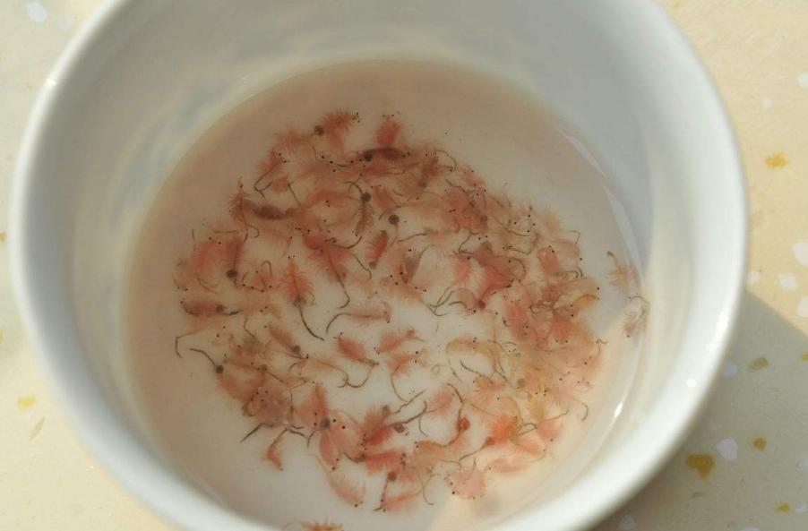 Adult Artemia Shrimp Eggs